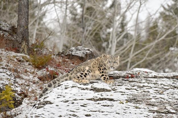 Cucciolo di leopardo delle nevi su una sporgenza rocciosa