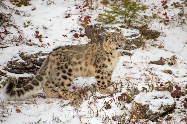 Cucciolo di leopardo delle nevi in piedi nella neve