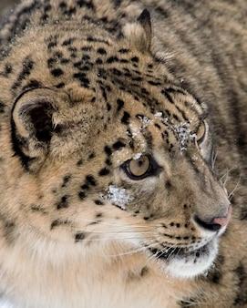 Primo piano estremo del leopardo delle nevi