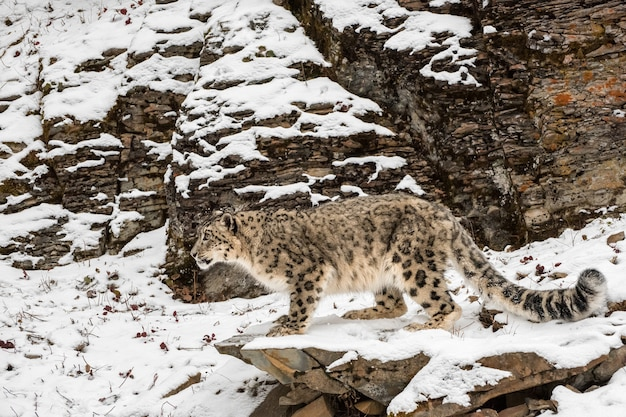 Leopardo delle nevi appollaiato su una sporgenza nella neve