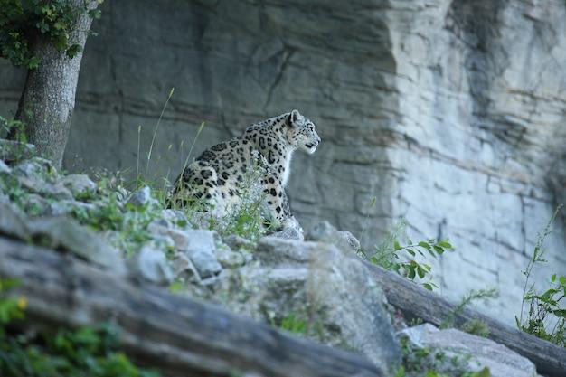 Ritratto di leopardo delle nevi in una luce incredibile