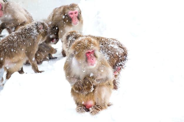 Scimmie della neve giapponesi sulla neve di inverno
