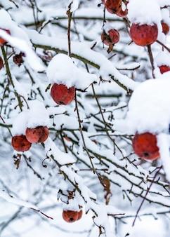Neve sulle mele rosse appese ai rami degli alberi in una fredda giornata invernale.
