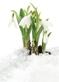 Fiore di bucaneve che esce dalla neve vera