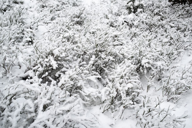 Bosco innevato. cespugli di bacche nella neve.
