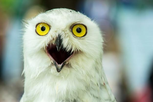 Snowy owl (bubo scandiaca) un look carino