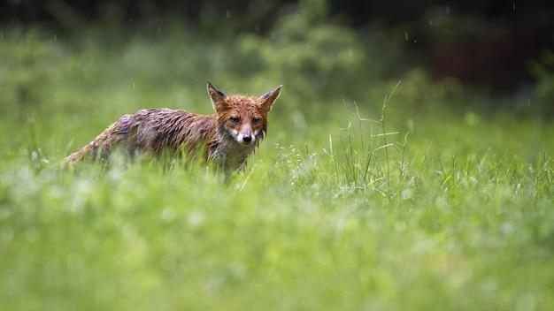 Volpe rossa inzuppata che guarda il pascolo in una piovosa giornata estiva