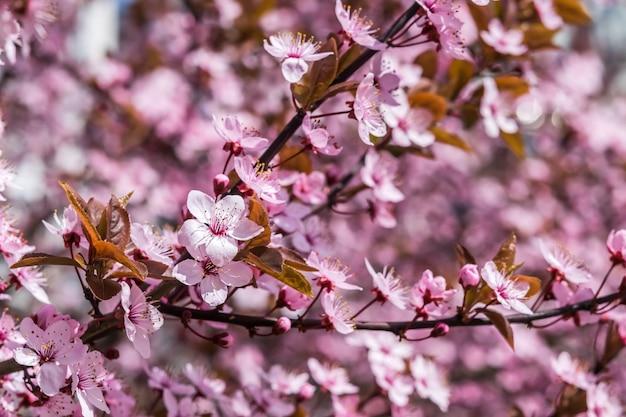 Morbida superficie floreale con fragranti fiori di ciliegio, messa a fuoco selettiva