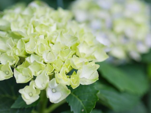 Soft focus crema bianca hydrangea paniculata limelight fiori.