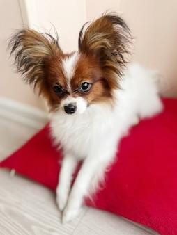Soft focus carino cucciolo papillon bianco marrone si trova su un cuscino rosso