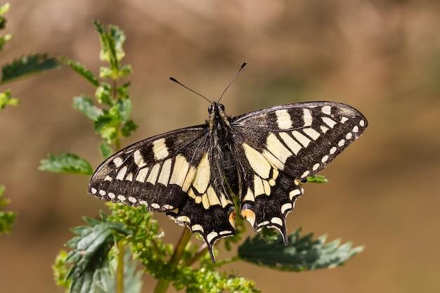 Soft focus di una farfalla a coda di rondine del vecchio mondo con le sue ali nere e gialle stese