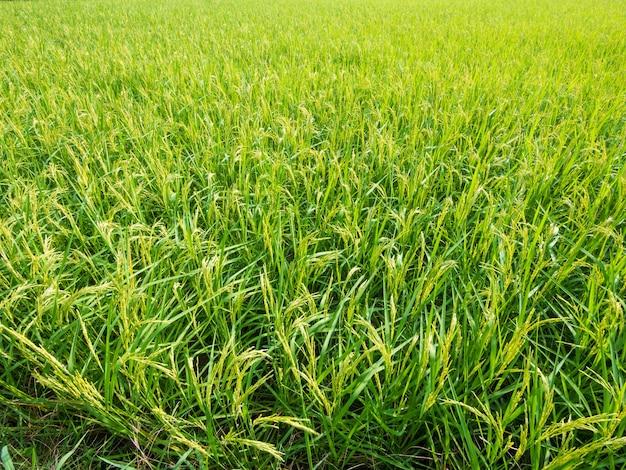 Morbido di fuoco. campo di riso e paesaggio del cielo della fattoria