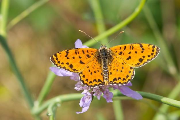 Soft focus di una farfalla gialla con macchie nere su un fiore su uno sfondo sfocato