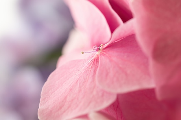 Morbidi fiori di ortensia o ortensia con gocce d'acqua sui petali. fiori che sbocciano in primavera. profondità di campo estremamente ridotta