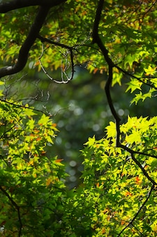 Nuove morbide foglie verdi di acero giapponese in una giornata di sole. vista della siluetta della foglia di acero di colore verde. colore naturale freschezza per il saluto di sfondo o carta da parati.