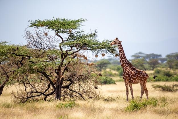 Le giraffe della somalia mangiano le foglie degli alberi di acacia