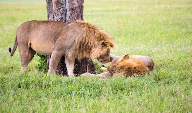 Alcuni grandi leoni mostrano le loro emozioni l'un l'altro nella savana del kenya