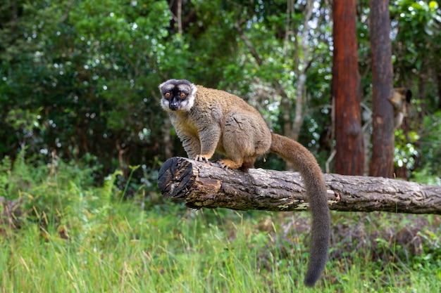 Alcuni lemuri bruni giocano nel prato e nel tronco di un albero e aspettano i visitatori