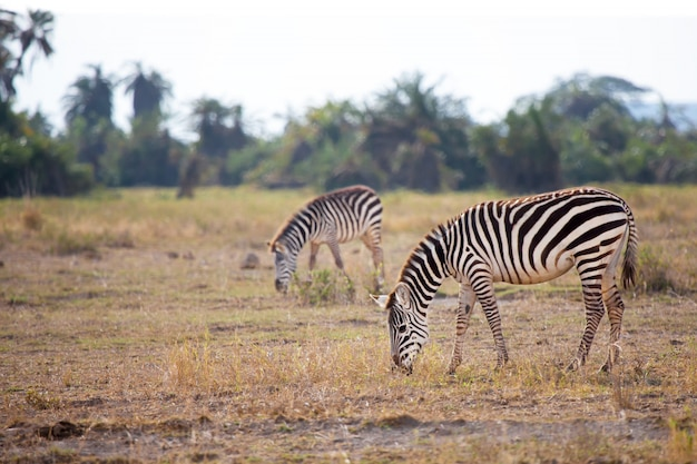 Alcune zebre stanno mangiando l'erba nella savana del kenya