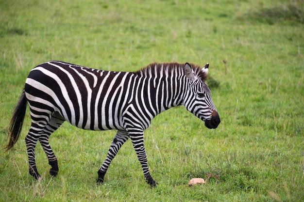 Alcune zebre nel mezzo della savana
