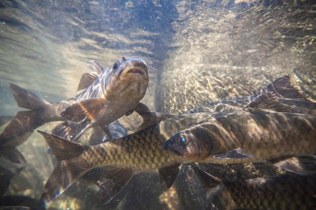 Pesci di carpa di soro ruscello sparano sotto la cascata sul namtokphlio national park chanthaburi in thailandia. sfondo sfocato.