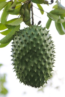 Soursop frutta esotica matura.