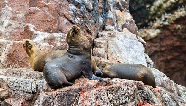 Leoni marini sudamericani o lupi di mare che riposano sulle pietre nelle isole ballestas del perù
