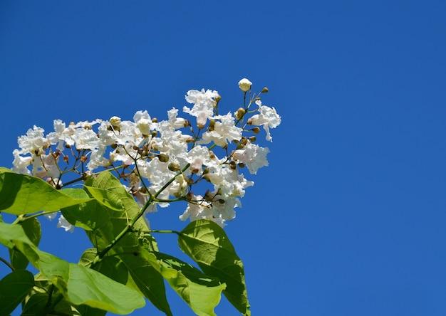 L'albero del catalpa del sud fiorisce su un fondo del cielo blu i bignonioides di catalpa di fioritura comunemente hanno chiamato il catawba o bean tree indiano spazio della copia fuoco selettivo.