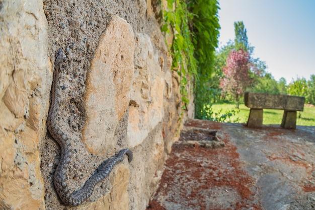 Serpente liscio del sud chiamato coronella girondica in un muro