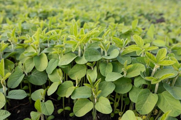 Primo piano delle foglie di soia. campi sperimentali per la modificazione genetica o allevamento. la fila di giovani germogli di soia si allunga. messa a fuoco selettiva