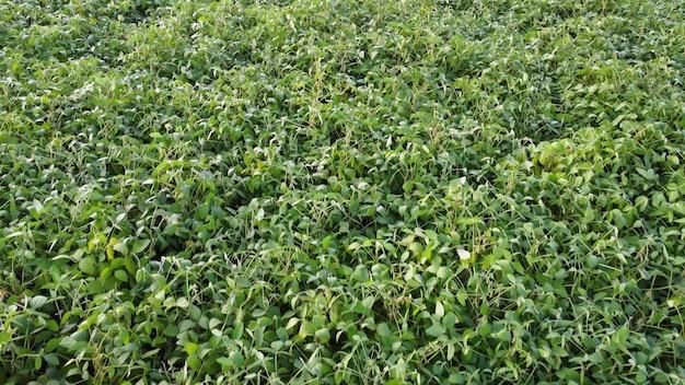Campo di soia, volo su colture di soia, piante verdi, agricoltura, soia verde.