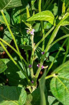 Albero di soia con fiore in piantagione.