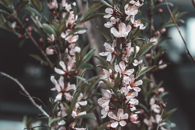 Concetto spa. bello fiore rosa dei fiori della mandorla