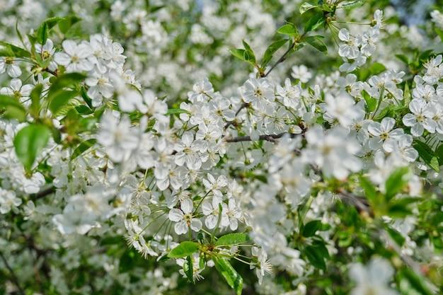 Immagine spaziale, ciliegio a fioritura primaverile, primo piano di un ramo con fiori bianchi