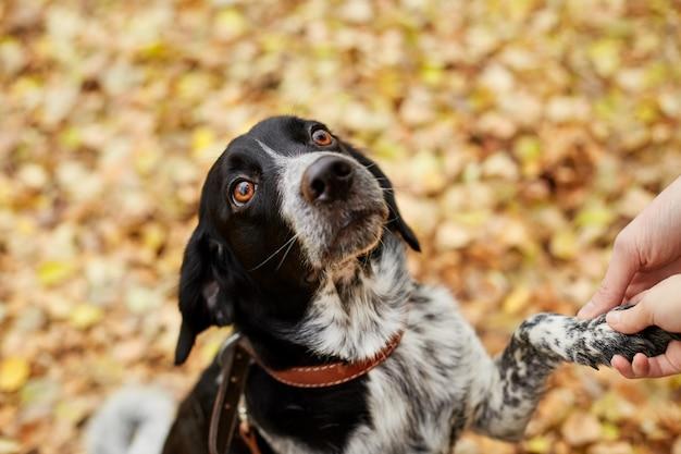 Cane spaniel con lunghe orecchie cammina nel parco in autunno e guarda il proprietario. cane sulla natura, russo spaniel