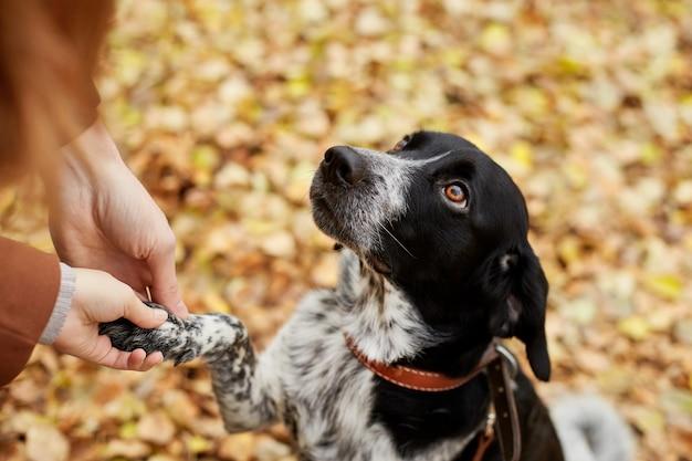 Il cane dello spaniel con le orecchie lunghe cammina nel parco autunnale e guarda il proprietario. cane sulla natura, russian spaniel