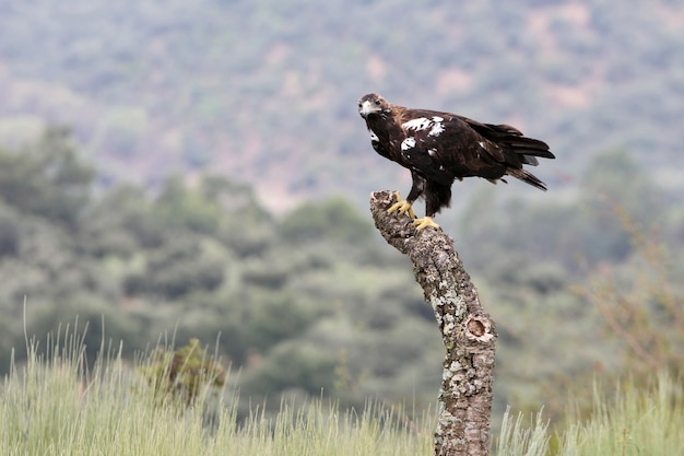 Spanish imperial eagle femmina adulta in una foresta mediterranea in una giornata ventosa