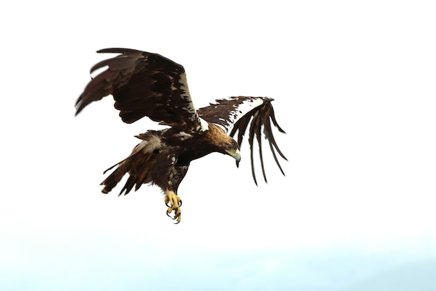Spanish imperial eagle maschio adulto volare in una foresta mediterranea in una giornata nuvolosa