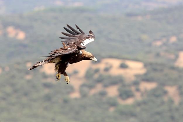 Spanish imperial eagle maschio adulto volare in una foresta mediterranea in una giornata ventosa