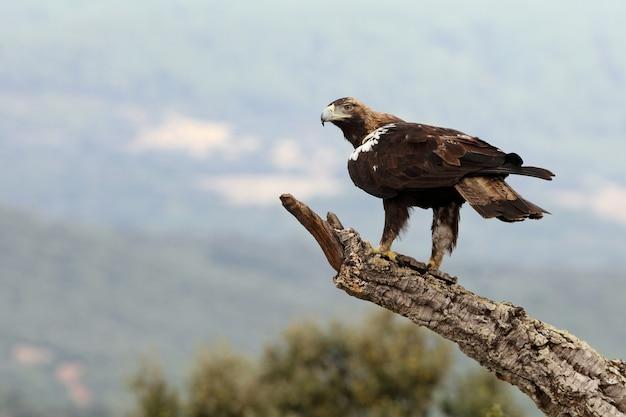 Spanish imperial eagle maschio adulto in una foresta mediterranea in una giornata ventosa