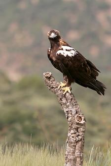 Spanish imperial eagle maschio adulto in una foresta mediterranea
