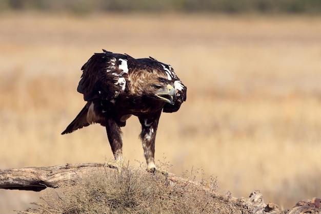 Spanish imperial eagle maschio adulto in una giornata ventosa la mattina presto