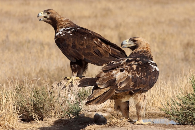 Spanish imperial eagle cinque anni di sesso femminile e maschio adulto