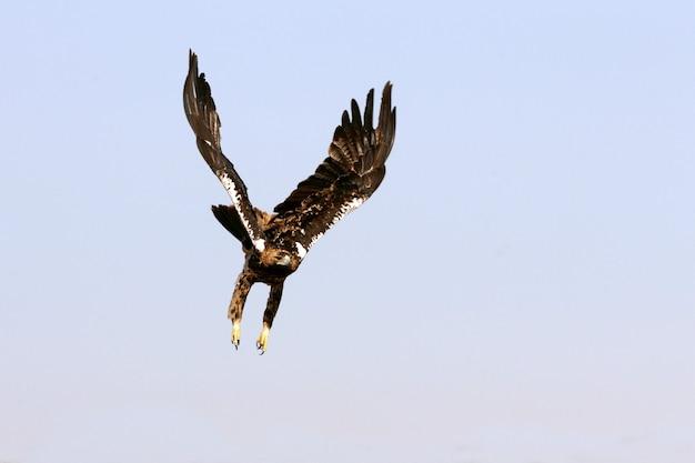Volo femminile di cinque anni dell'aquila imperiale spagnola