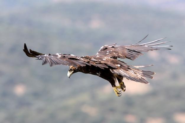 Volo dell'aquila imperiale spagnola
