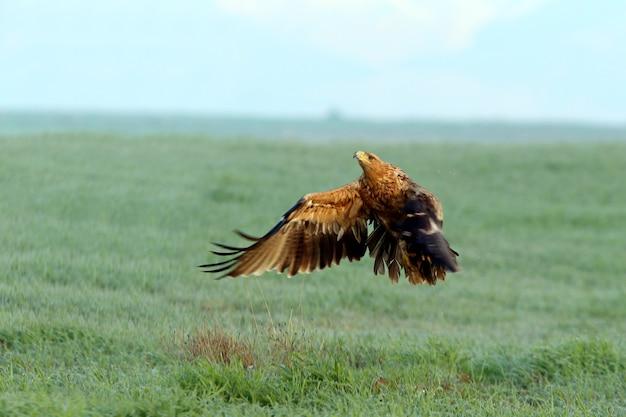 Aquila imperiale spagnola, bimba di due anni che arriva al suo punto di osservazione preferito alle prime luci di una fredda giornata invernale