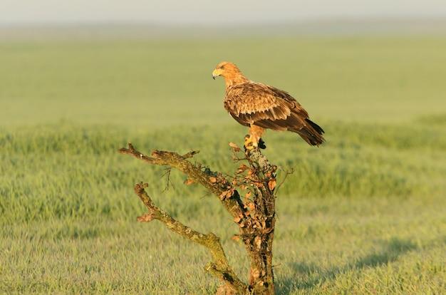 Spanish imperial eagle femmina di due anni alle prime luci del mattino in una fredda giornata invernale