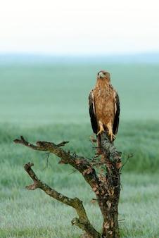 Spanish imperial eagle femmina di due anni nella sua torre di guardia preferita alle prime luci del mattino in una fredda giornata invernale