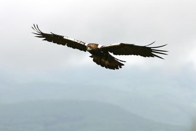 Aquila imperiale spagnola