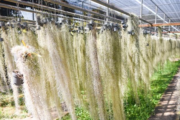 Albero di muschio spagnolo che appende in vaso alla serra. muschio spagnolo di vivaio